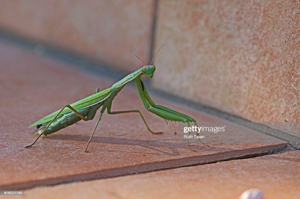 praying mantis mantid religiosa on patio step close up : Stockfoto