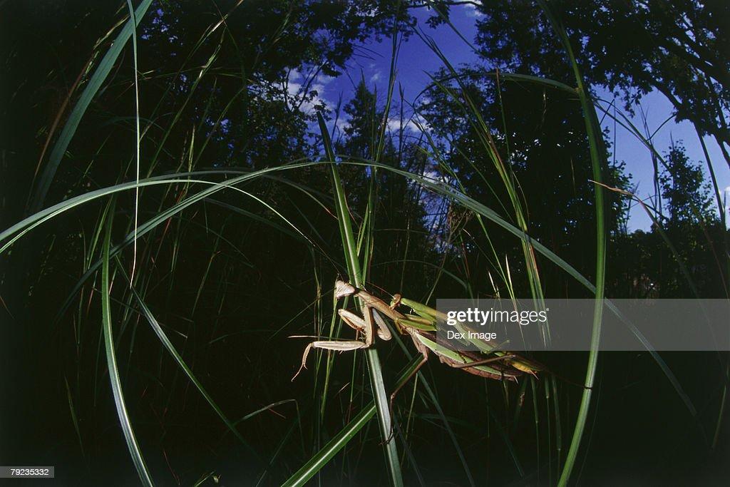 Praying mantis mating : Stock Photo