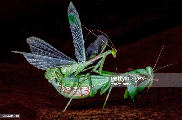 praying mantis' mating. - accouplement animal photos et images de collection