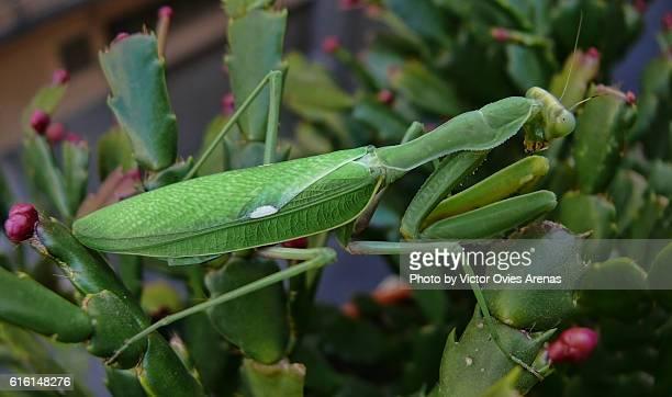 Praying Mantis on a Christmas Cactus