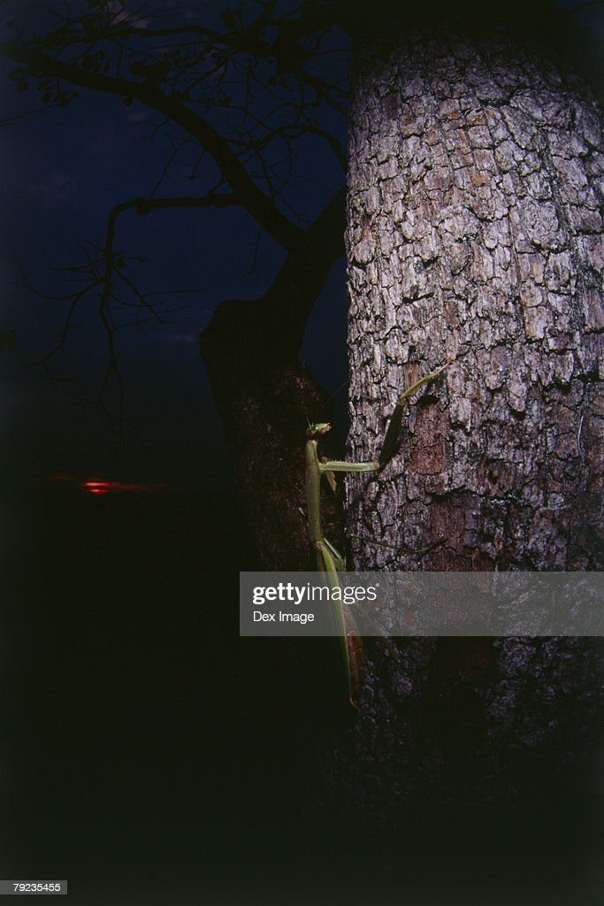 Praying mantis on a tree trunk at night : Stock Photo