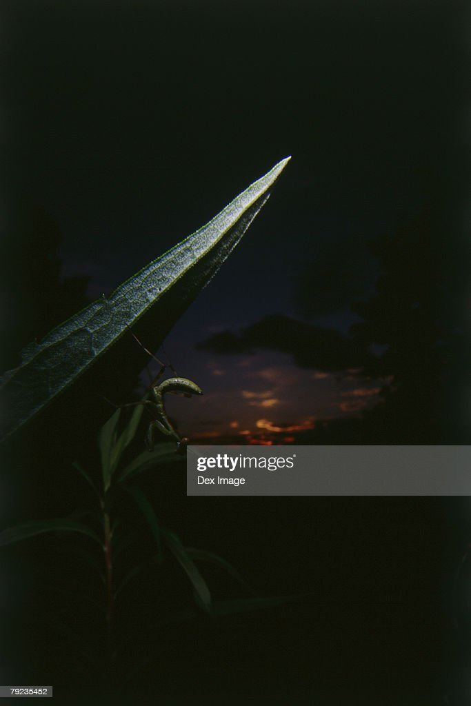 Praying mantis on leaf at sunset, close up : Stock Photo