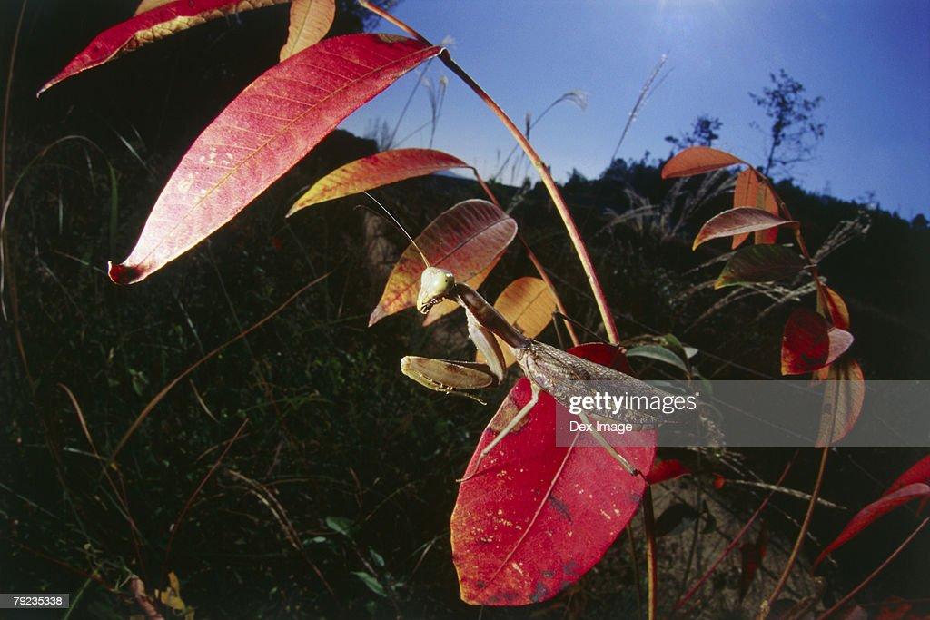 Praying mantis on red leaf, close up : Stock Photo
