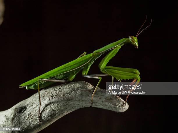 6 725 Praying Mantis Photos And Premium High Res Pictures Getty Images