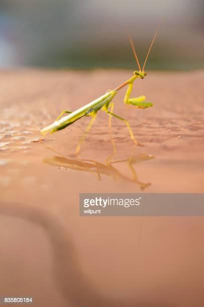 Praying mantis reflection