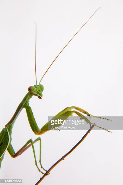 Praying mantis staring at the camera in prayer position.  Spain