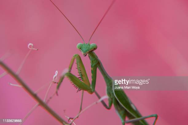 Praying mantis staring at the camera in prayer position.  Spain