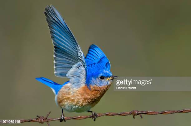 pre flight - eastern bluebird stock pictures, royalty-free photos & images