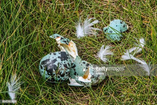 Predated egg shells of common murre / common guillemot broken and eaten by herring gull or great skua, Scotland, United Kingdom.