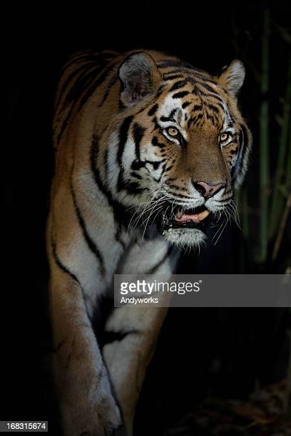 predator in the dark - dark panthera stock pictures, royalty-free photos & images