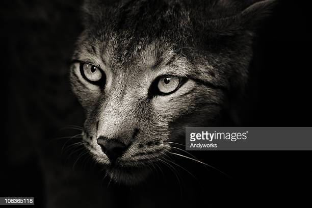 predator in the darkness - dark panthera stock pictures, royalty-free photos & images