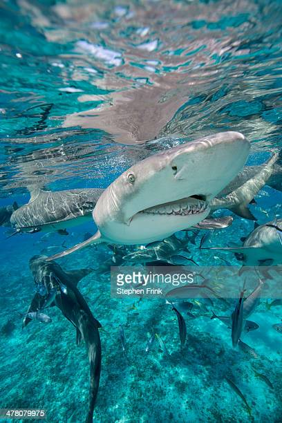 predators in competition for food. - feeding frenzy stock photos and pictures