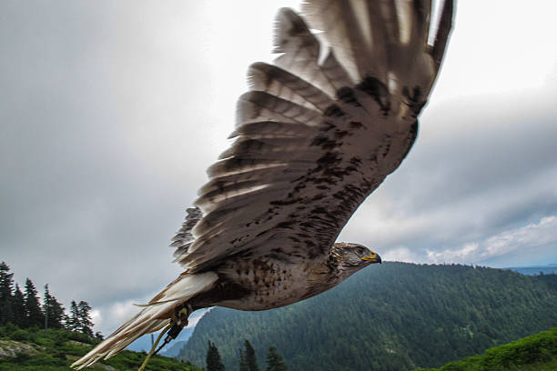 Predatory Bird In Flight Wall Art