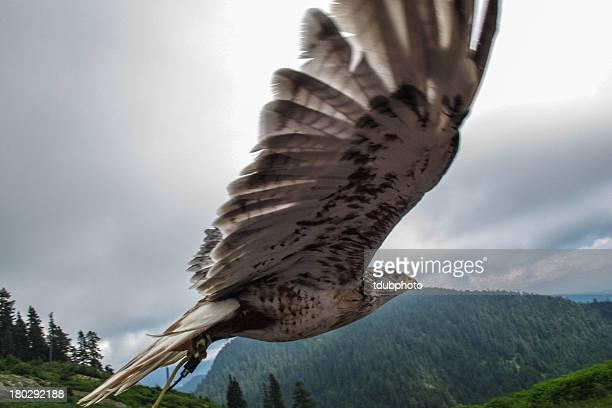 predatory bird in flight