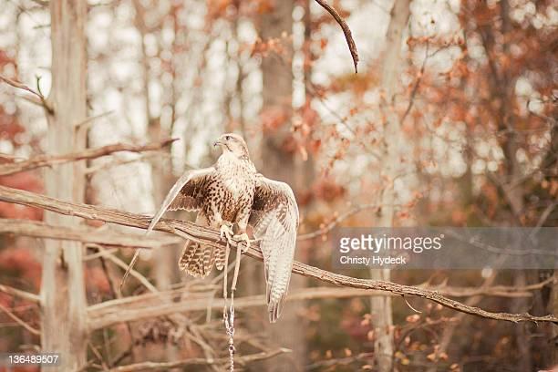 Predatory birds on tree branch