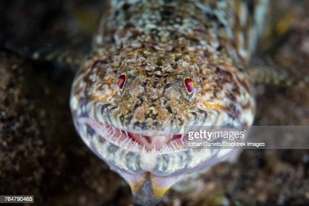 A predatory lizardfish is finishing off a meal of a blenny.