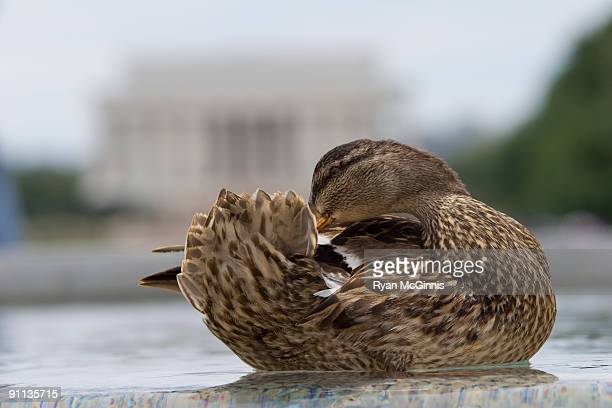 preening duck in front of lincoln memorial - ryan mcginnis stock photos and pictures