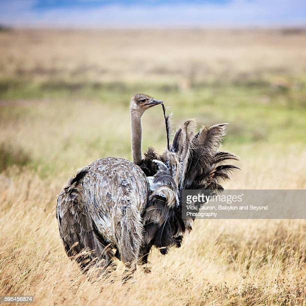 Preening Female Masai Ostrich in Ngorongoro Crater
