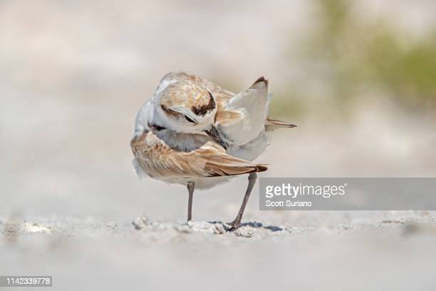 preening plover - kentish plover stock pictures, royalty-free photos & images