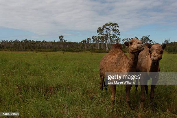 Pregnant camels roam in the grounds of QCamel dairy on April 5 2016 in Sunshine Coast Australia QCamel founded by Lauren Brisbane and her family in...