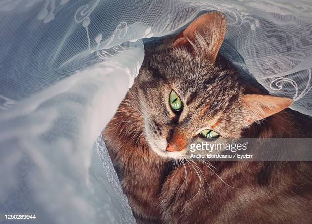 pregnant cat laying down indoors, hiding behind a curtain. adorable kitty looking big green eyes. - cat hiding under bed stock pictures, royalty-free photos & images