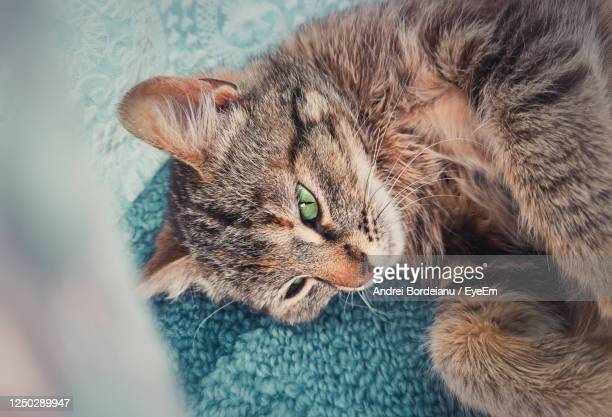 pregnant cat laying down on the carpet indoors, hiding behind a curtain to find place to give birth - cat hiding under bed stock pictures, royalty-free photos & images