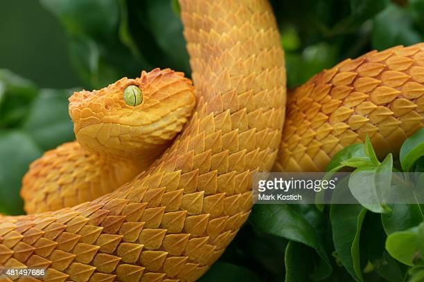 Pregnant Female Bush Viper - Venomous Snake