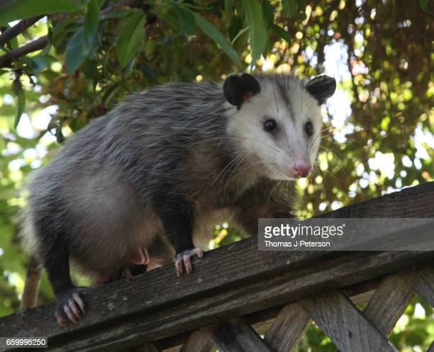 pregnant female opossum walking along fence in san jose california (didelphis virginiana) - possum stock pictures, royalty-free photos & images