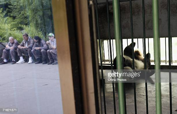 A pregnant giant panda named Ye Ye plays in a cage as volunteers from the US rest beside at the China Wolong Giant Panda Protection and Research...