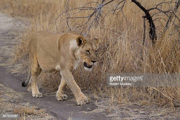 A pregnant Lioness walks along track