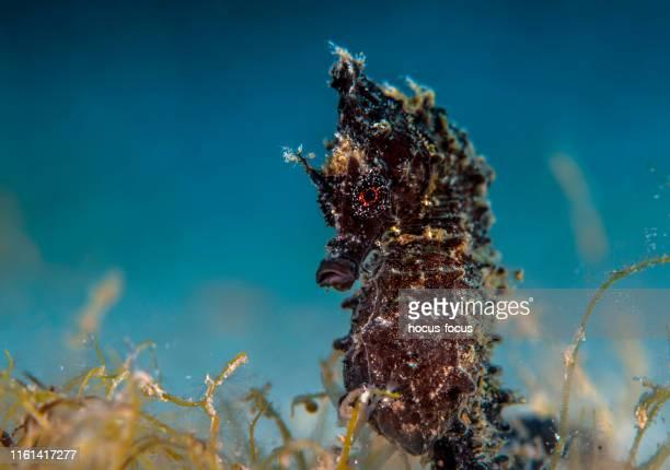 hippocampe mâle enceinte - hippocampe photos et images de collection