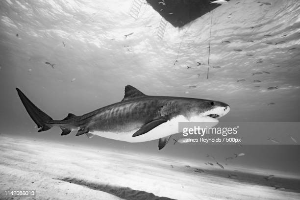 pregnant tiger shark under the boat - leopard shark stock pictures, royalty-free photos & images