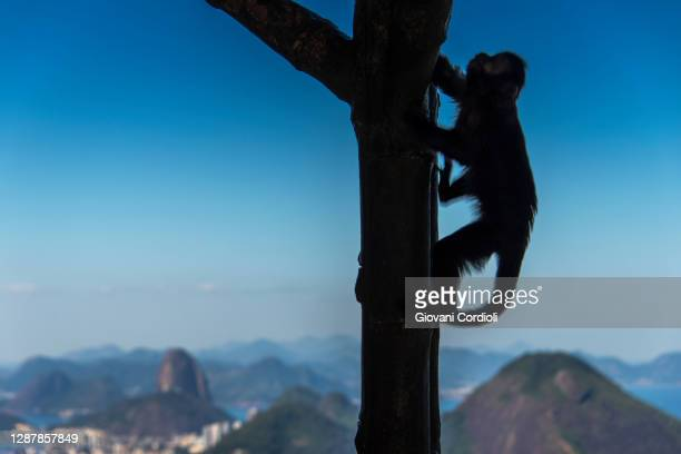 prego's monkey at chinese view, rio. - rio de janeiro stock pictures, royalty-free photos & images