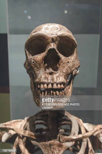 prehistoric skeleton - neanderthal stock pictures, royalty-free photos & images