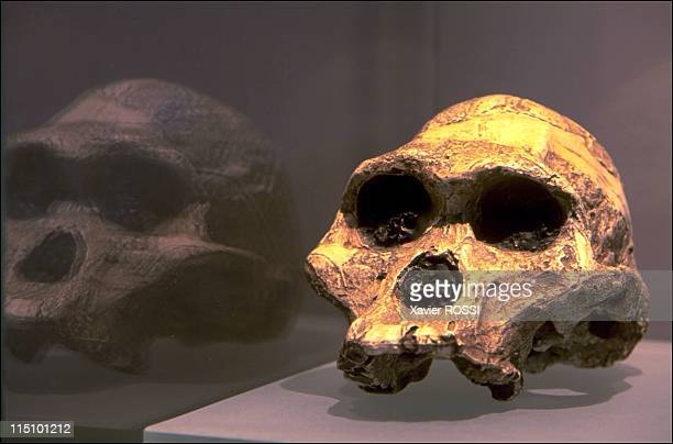 Prehistorical museum in Quinson, France on May 29, 2001 - Australopithecus cranium .