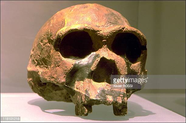 Prehistorical museum in Quinson, France on May 29, 2001 - Homo ergaster cranium.