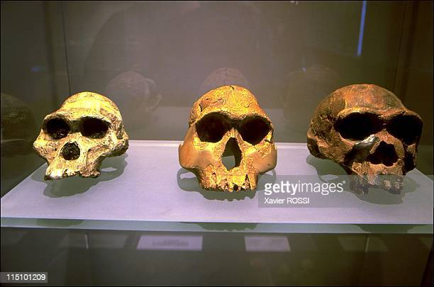 Prehistorical museum in Quinson France on May 29 2001 Left right the craniums of an Australopithecus of southern Africa Homo Abilis found in Kenya...