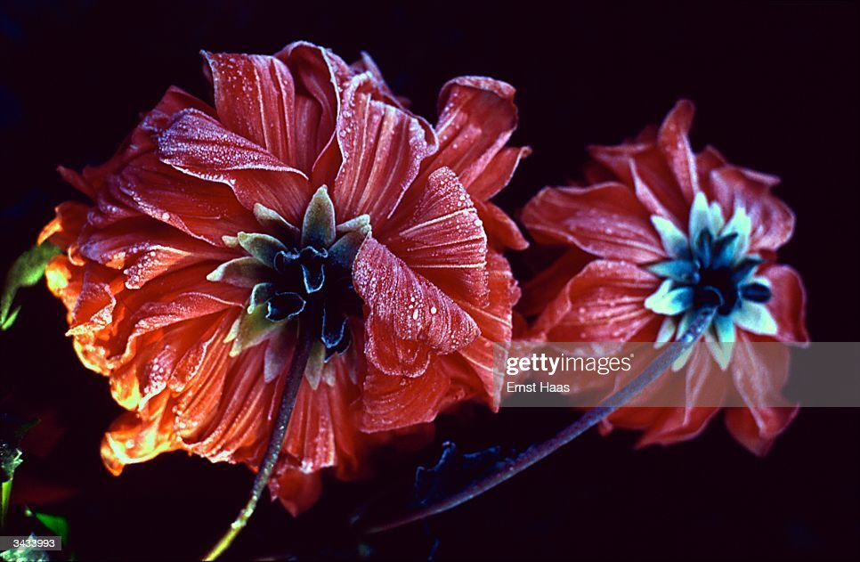A close-up of red dahlias, the petals rimmed with a light frost.