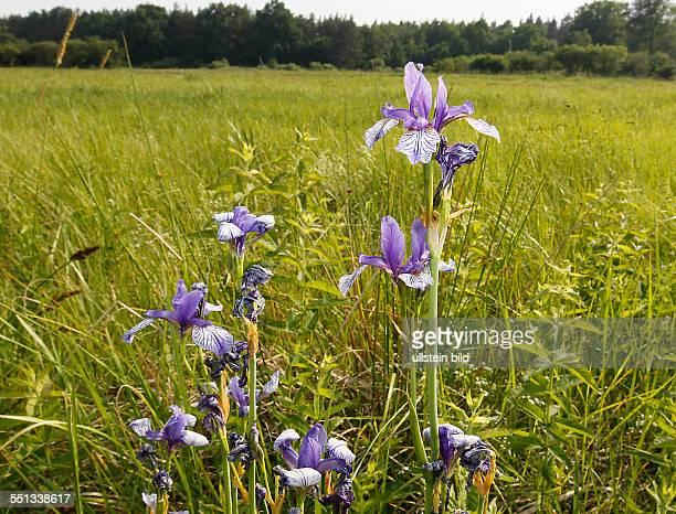 Premsendorf Sachsen Anhalt Elsterwiese Nordrand Annaburger Heide Sibirische Schwertlilie auch WiesenSchwertlilie genannt ist eine Pflanzenart aus der...