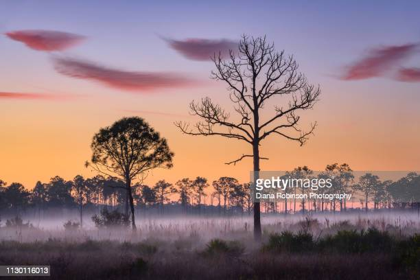 preo-dawn over swamp and fog at babcock wildlife management area near punta gorda, florida - sumpmark bildbanksfoton och bilder