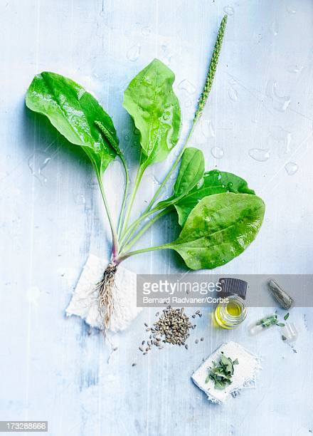 preparation with plantain, medicinal plant