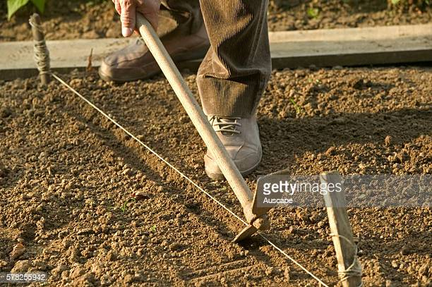 Preparing garden bed digging rows for seeds with pickaxe using string for a guide