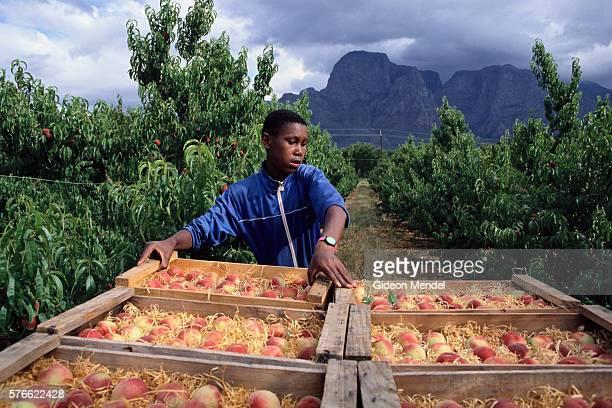 Preparing Peaches