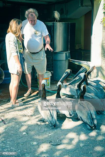 """preparing to help a pelican in the suncoast seabird santuary. - """"martine doucet"""" or martinedoucet stock pictures, royalty-free photos & images"""