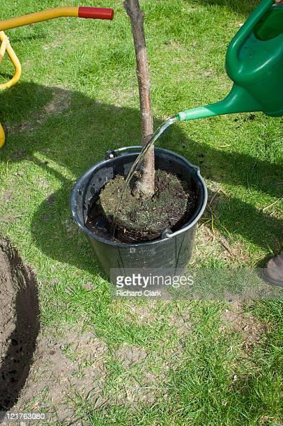 Preparing young cherry tree (Prunus) for planting. Step by step, image 6 of 15