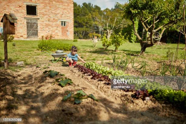 edad preescolar niña verificando lechuga en el jardín comunitario - actividad de agricultura fotografías e imágenes de stock
