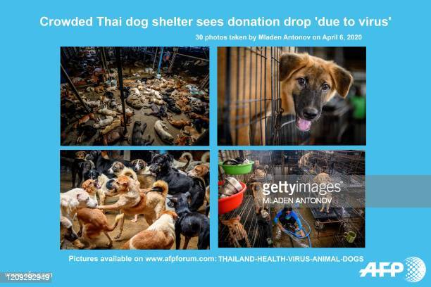 AFP presents a photo essay of 30 photos of a crowded Thai animal shelter for stray dogs where they say donations of food and money have dropped since...