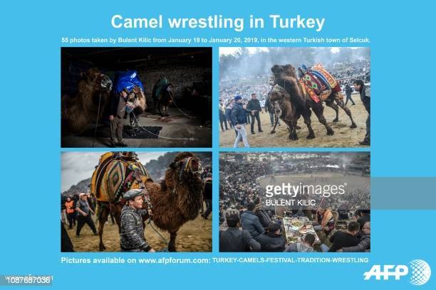 AFP presents a photo essay of 55 images by photographer Bulent Kilic taken from January 19 to January 20 on the Selcuk Camel wrestling festival a...