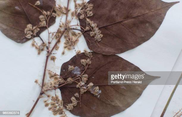 A preserved Japanese Knotweed herbarium sample at Pixie Williams' home Williams and some volunteers have been putting together a teaching archive of...