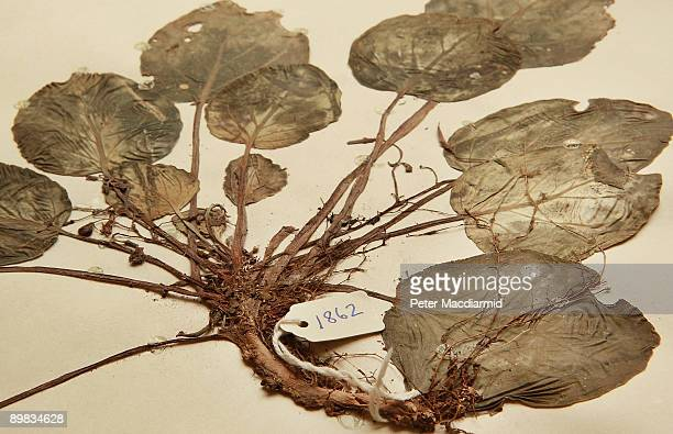 A preserved specimen of a rare African violet plant collected from Tanzania in 1953 is displayed in the Herbarium at The Royal Botanic Gardens Kew on...